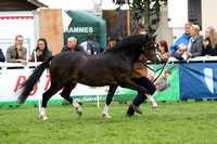 C11 WELSH MOUNTAIN COLT 2YRS